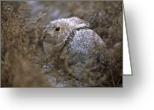 Image Type Photo Greeting Cards - A Snow Dusted Desert Cottontail Rabbit Greeting Card by Joel Sartore