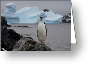 Image Type Photo Greeting Cards - A Solitary Chinstrap Penguin Stands Greeting Card by Paul Nicklen