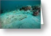 Panama City Beach Greeting Cards - A Southern Stingray On The Sandy Bottom Greeting Card by Michael Wood