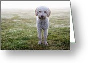Head And Shoulders Greeting Cards - A Spanish Water Dog Standing A Field Greeting Card by Julia Christe