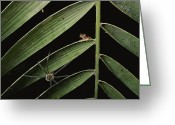 Red-eyed Frogs Greeting Cards - A Spider Stalks A Young Red-eyed Tree Greeting Card by George Grall