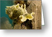 Hare Greeting Cards - A Spotted Sea Hare Aplysia Dactylomela Greeting Card by Tim Laman