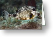 Tropical Climate Greeting Cards - A Spotted Trunkfish, Key Largo, Florida Greeting Card by Terry Moore