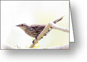Red Wing Blackbird Greeting Cards - A Springtime female Red Wing Blackird Greeting Card by Michel Soucy
