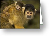 Squirrel Photographs Greeting Cards - A squirrel monkey baby Greeting Card by Nicole Duplaix