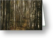 Autumn Scenes Greeting Cards - A Stand Of Birch Trees Show Greeting Card by Raymond Gehman