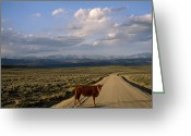 Image Type Photo Greeting Cards - A Steer On A Dirt Road Greeting Card by Joel Sartore