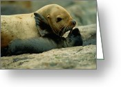 Animal Life Cycles Greeting Cards - A Steller Sea Lion Cow Eumetopias Greeting Card by Joel Sartore