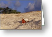 Sand Beaches Greeting Cards - A Strawberry Land Hermit Crab Emerging Greeting Card by Jason Edwards