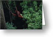 Orangutans Greeting Cards - A Subadult Male Orangutan Uses Vines Greeting Card by Michael Nichols