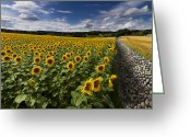 Blue Cobblestone Greeting Cards - A Sunny Sunflower Day Greeting Card by Debra and Dave Vanderlaan