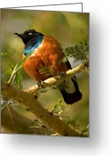Tree. Acacia Greeting Cards - A Superb Starling Perched On An Acacia Greeting Card by Roy Toft