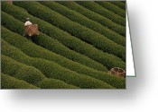 Kansai Triangle Greeting Cards - A Tea Harvester Walks Between Two Thick Greeting Card by George F. Mobley
