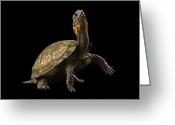 Threatened Species Greeting Cards - A Threatened Bog Turtle At Zoo Atlanta Greeting Card by Joel Sartore
