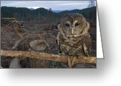 Environmental Damage Greeting Cards - A Threatened Northern Spotted Owl Greeting Card by Joel Sartore