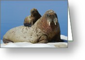 Walruses Greeting Cards - A Three-month Old Walrus Calf Finds Greeting Card by Paul Nicklen