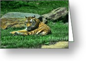 Siberian Tiger Greeting Cards - A Tigers Gaze Greeting Card by Paul Ward