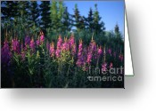 Fireweed Greeting Cards - A Touch of Fireweed Greeting Card by Dave Hampton Photography