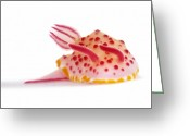 Image Type Photo Greeting Cards - A Toxic Mexichromis Mariei Nudibranch Greeting Card by David Doubilet