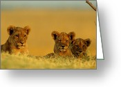 Resting Animals Greeting Cards - A Trio Of African Lion Cubs Greeting Card by Beverly Joubert