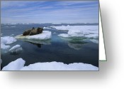 Walruses Greeting Cards - A Trio Of Atlantic Walruses Drift Greeting Card by Paul Nicklen