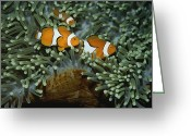 Sea Anemones Greeting Cards - A trio of false clown Greeting Card by Wolcott Henry
