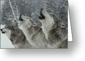 America United States Greeting Cards - A Trio Of Gray Wolves, Canis Lupus Greeting Card by Jim And Jamie Dutcher