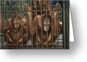 Orangutans Greeting Cards - A Trio Of Orphaned Orangutans In A Cage Greeting Card by Tim Laman