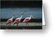 Bays Greeting Cards - A Trio Of Roseate Spoonbills Greeting Card by Klaus Nigge