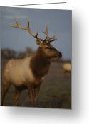 Complex Greeting Cards - A View Of A Tule Elk  With Large Greeting Card by Bates Littlehales