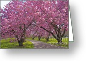 Cindy Longhini Greeting Cards - A Walk Down Cherry Blossom Lane Greeting Card by Cindy Lee Longhini