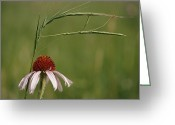 Echinacea Greeting Cards - A Walking Stick Insect On Prairie Grass Greeting Card by Annie Griffiths
