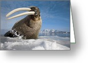 Walruses Greeting Cards - A Walrus Flicks His Huge Tusks Greeting Card by Paul Nicklen