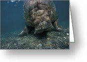 Walruses Greeting Cards - A Walrus Returning To Its Haulout Site Greeting Card by Paul Nicklen