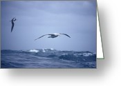 Endurance Greeting Cards - A Wandering Albatross Gliding In Flight Greeting Card by Jason Edwards