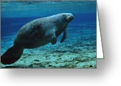 West Indian Greeting Cards - A West Indian Manatee In The Shallow Greeting Card by Michael Wood