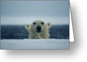 The Edge Greeting Cards - A Wet Polar Bear Sticks His Head Greeting Card by Paul Nicklen