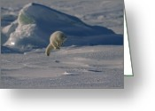 Weather Photographs Greeting Cards - A White Arctic Fox, Alopex Lagopus Greeting Card by Norbert Rosing