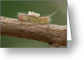 Caterpillar Greeting Cards - A White Marked Tussock Moth Climbs Greeting Card by Joel Sartore