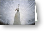 Displays Greeting Cards - A White Peacock, Pavo Sp., Spreads Greeting Card by Joel Sartore