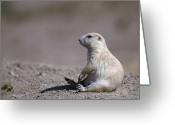Prairie Dog Greeting Cards - A White Prairie Dog Demonstrates Bad Greeting Card by Joel Sartore