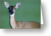 White Tailed Deer Greeting Cards - A White-tailed Deer On The Prairie Greeting Card by Joel Sartore