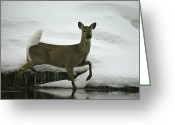 Chromatic Greeting Cards - A White-tailed Deer Paces The Edge Greeting Card by Michael S. Quinton