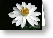 Water Bloom Greeting Cards - A White Water Lily Greeting Card by Sabrina L Ryan