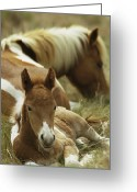 Wild Horses Greeting Cards - A Wild Pony And Foal At Rest Greeting Card by James L. Stanfield
