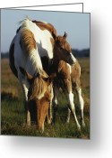 Wild Horses Greeting Cards - A Wild Pony And Foal Grazing In A Field Greeting Card by James L. Stanfield