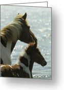 Wild Horses Greeting Cards - A Wild Pony And Foal Looking Greeting Card by James L. Stanfield