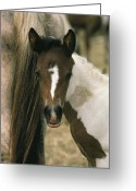 Wild Horses Greeting Cards - A Wild Pony Foal Nuzzled Greeting Card by James L. Stanfield