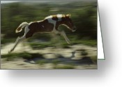 Wild Horses Greeting Cards - A Wild Pony Foal Running Greeting Card by James L. Stanfield