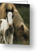 Wild Horses Greeting Cards - A Wild Pony Foal Standing Greeting Card by James L. Stanfield